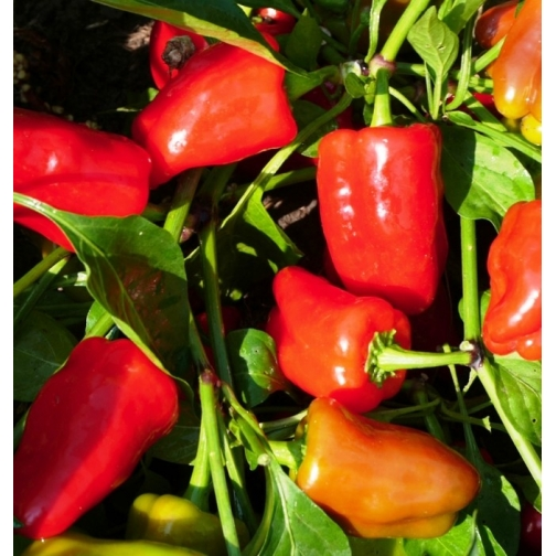 Семена перца сладкого Ред Барон : 10шт 36986000