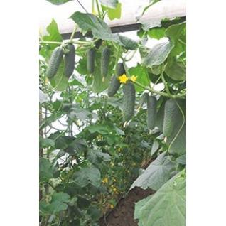Семена огурца Гуннар F1 - 500 шт