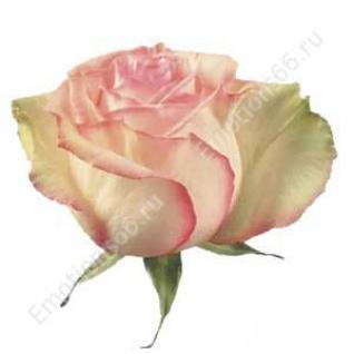 Роза сорта Esperance 50 см