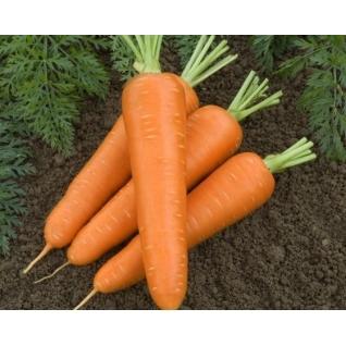 Семена моркови Сильвано F1 - 500 000 шт Vilmorin