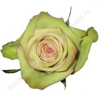 Роза сорта Green Fashion 70 см