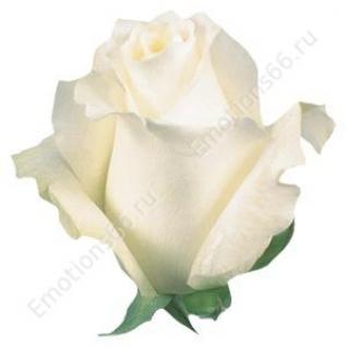 Роза сорта Anastasia