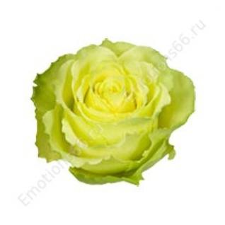 Роза сорта Limbo 50 см