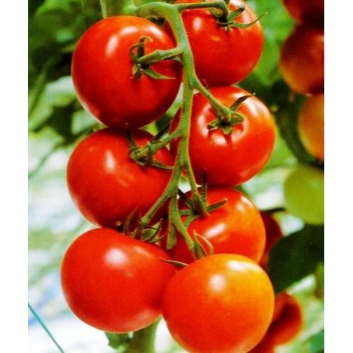 Семена томата Лоджейн : 10шт 36985956