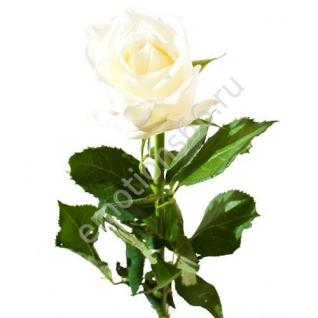 Роза Полярная Звезда 60 см