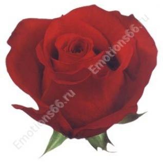 Роза сорта Freedom 60 см