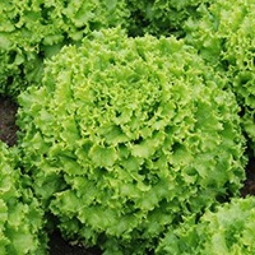 Семена салата Эстони : 0,02гр 36986195