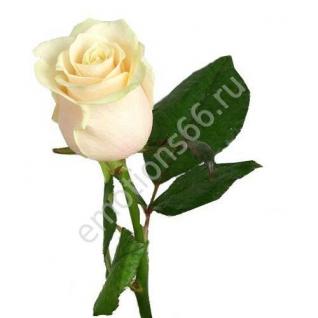 Роза Вендела 80 см