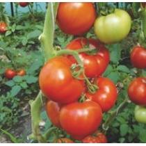 Семена томата Берберана : 10шт