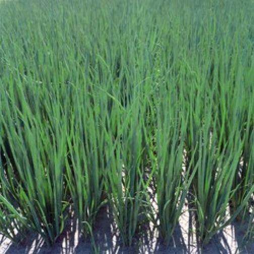 Семена лука на зелень Перформер - 10 000шт 36986170
