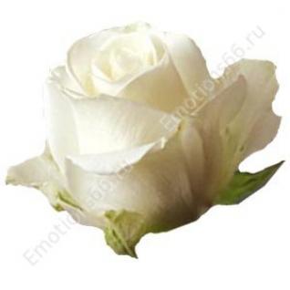 Роза сорта Tibet