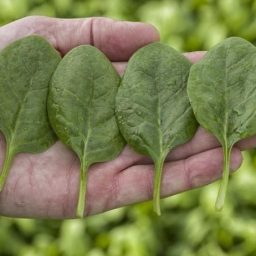 Семена шпината Меркат : 100 000шт 36986197