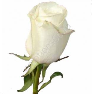 Роза Амелия 60 см