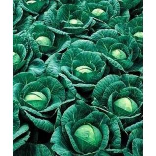 Семена капусты белокочанной Ринда F1 - 2500шт