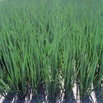 Семена лука на зелень Параде - 250 000шт
