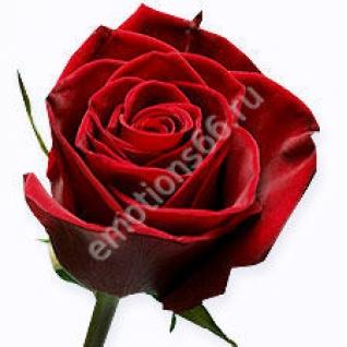 Роза Блек Меджик 70 см