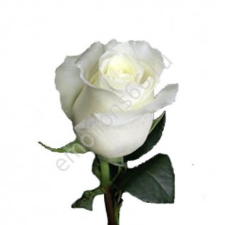 Роза Анастасия 80 см