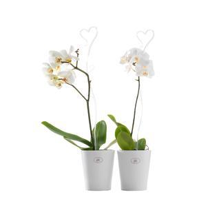 Опора декоративная для орхидей Soendgen, прозрачный