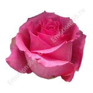 Роза сорта Shocking Versilia 60 см