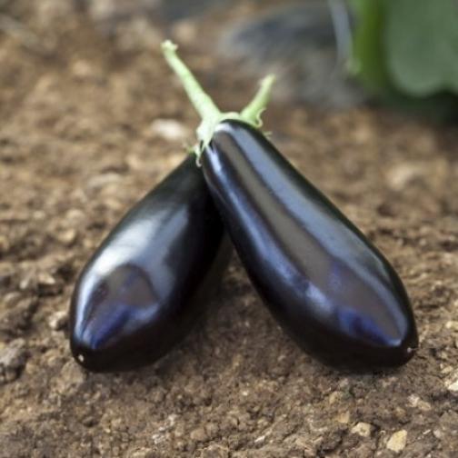 Семена баклажана Шарапова F1 : 1000шт 36986212