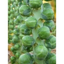 Семена капусты брюссельской Франклин F1 : 10шт
