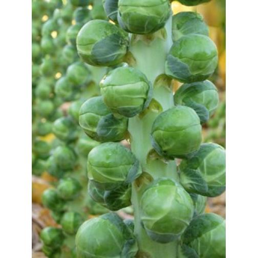 Семена капусты брюссельской Франклин F1 : 10шт 36986064
