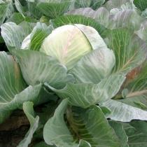 Семена капусты белокочанной Сельма F1 : 20шт