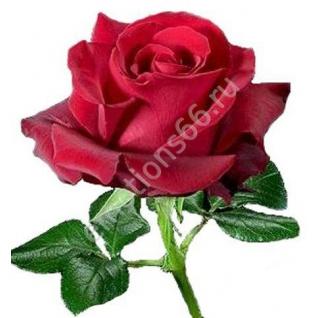 Роза Секси Ред 60 см