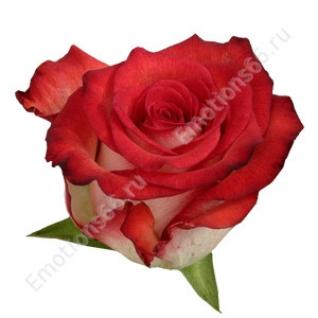 Роза сорта Blush 60 см