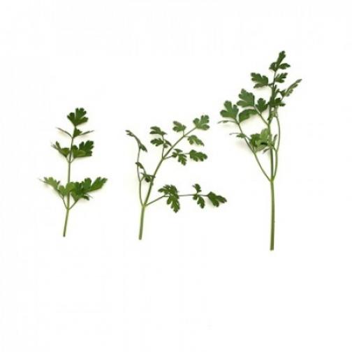 Семена петрушки Фелиция : 0,25кг 36986135