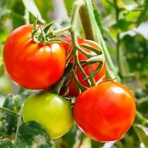 Семена томата Буран : 10шт