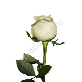 Роза Хай Пичь 50 см