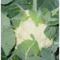 Семена цветной капусты Фронтина F1 - 1000шт