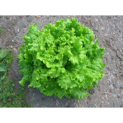Семена салата Афицион : 0,5кг 36985986