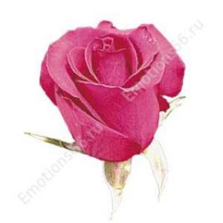 Роза сорта Hot Princess 60 см