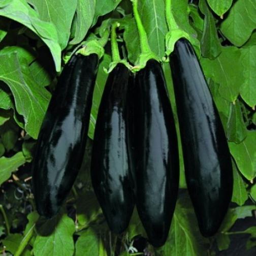 Семена баклажана Анамур F1 : 500шт 36986208