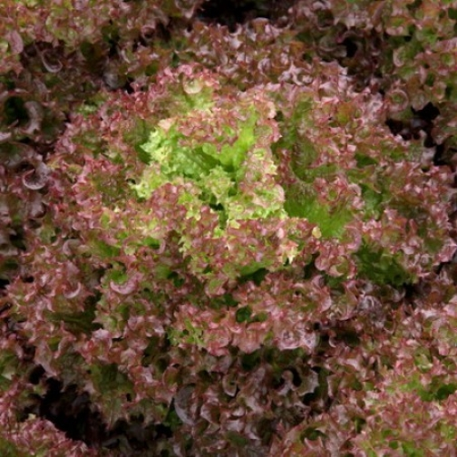 Семена салата Сатин : 5000 шт 36986033