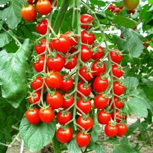 Семена томата черри Сакура : 5шт 36985969