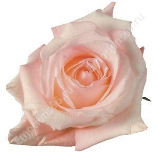 Роза сорта Engagement 60 см