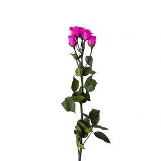 Кустовая Роза (5 бутонов на ветке, Ø3-3.5 cm) высота 40 cm Фуксия