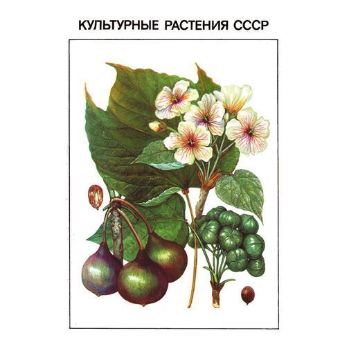 Культурные растения СССР 38732329