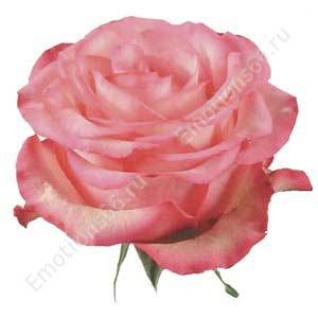 Роза сорта Carousel 60 см