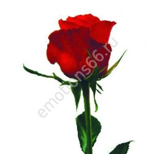 Роза Ред Интуишин 70 см
