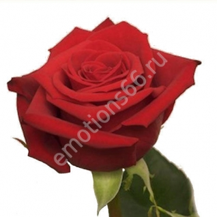 Роза Фридом 80 см
